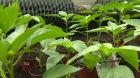 Škůdci na plodové zelenině