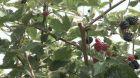 Zahradní ostružiny