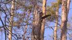 Borové lesy usychají