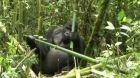 Další hrozba pro gorily