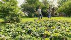 Péče o jahody v září