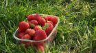 Podzimní sběr jahod