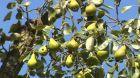 Staré odrůdy ovocných stromů
