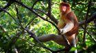Češi zachraňují... opice kahau v Indonésii