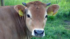 A ta kráva...
