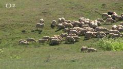 Velké ovčí putování